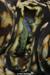 Gills of a Giant Clam by Mark Hoevenaars 